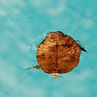 Dicas folhas agua piscina