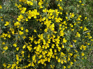 Gorse which smells like coconut