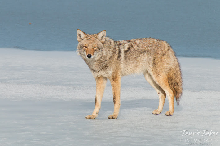 A wary coyote keeps watch from the ice of a frozen lake in Colorado.  (© Tony's Takes)