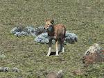 Ethiopian wolf (IUCN Endangered)