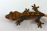 Crested_Gecko-IMG_8688-2012-07-31