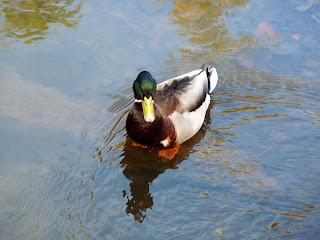 Mallard on the River Dove