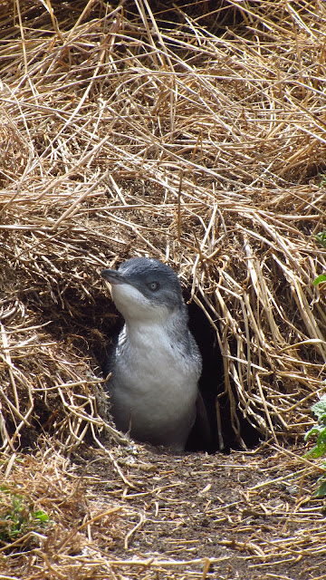 A little blue penguin poking out of his nest.