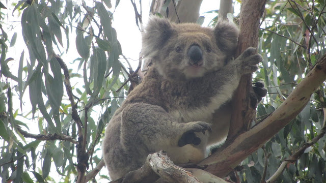 One of the many koalas inhabiting the gum trees at Cape Otway.