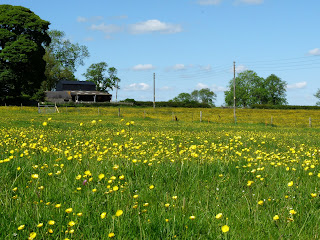 A field of buttercups.
