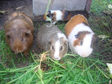guinea pig coloring pages - Guinea Pig Coloring Pages SomeBody Free Coloring