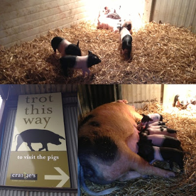 Newborn Piglets at Craigie's Farm, Deli and Cafe. South Queensferry, Edinburgh