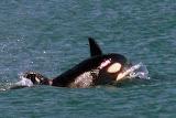 Orcas - Juneau, AK