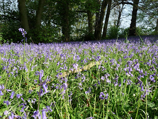 "A ""snake"" or maybe a ""log"" in amongst the Bluebells"