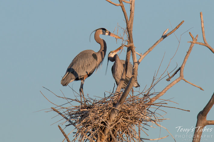 A male Great Blue Heron passes off some nest building material to its mate.   (© Tony's Takes)