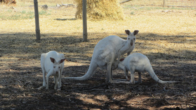 White kangaroos at Bordertown Wildlife Park.