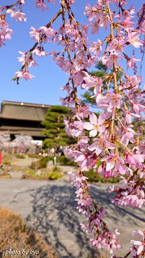 善光寺の桜6