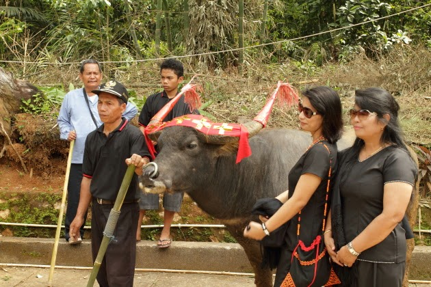 Posing with buffalo bulls at a Tana Toraja Funeral Celebration