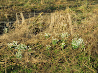 Snowdrops on the bank of the Henmore