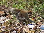 Grivet Monkeys