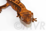 Oingo - Partial pinstripe harlequin crested gecko from moonvalleyreptiles.com