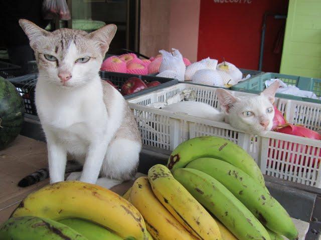 Koh Tao cats