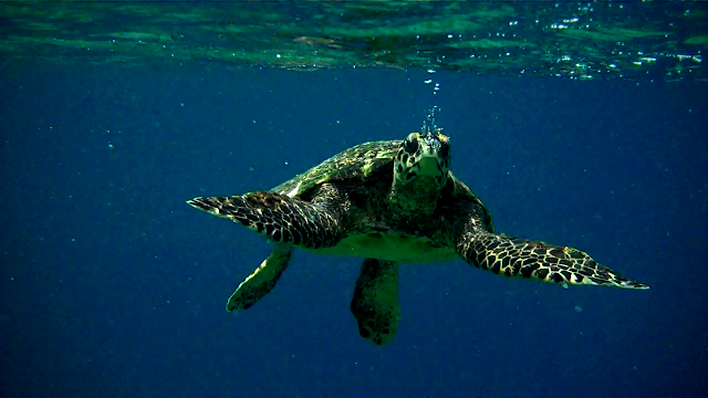 We found this cute hawksbill only a few meters offshore.