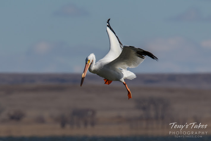 With its prey spotted, an American White Pelican prepares to dive. Scroll down to view the complete series. (© Tony's Takes)
