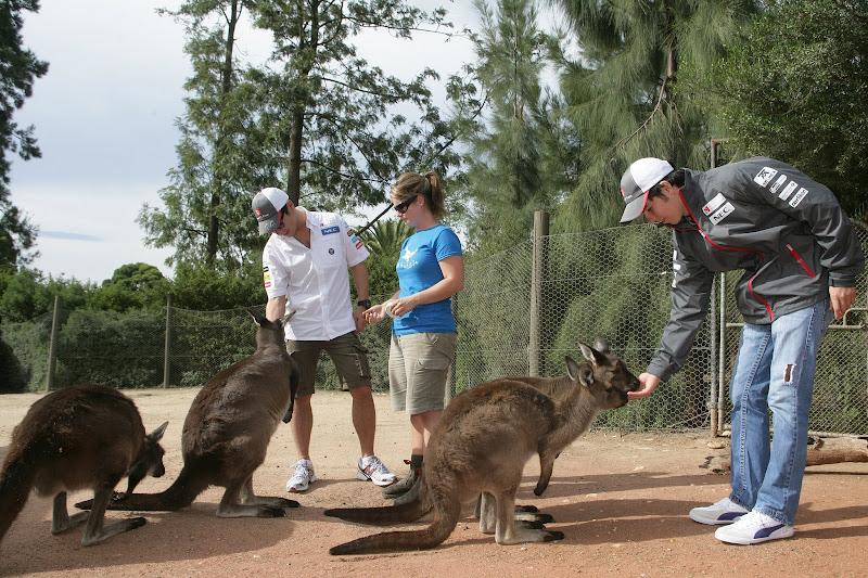 Камуи Кобаяши и Серхио Перес кормят кенгуру в мельбурнском зоопарке перед Гран-при Австралии 2012