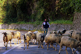Watch Out For Sheep In The Road - Pontone, Italy