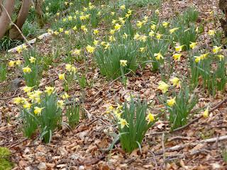 Daffodils near Muncaster Mill