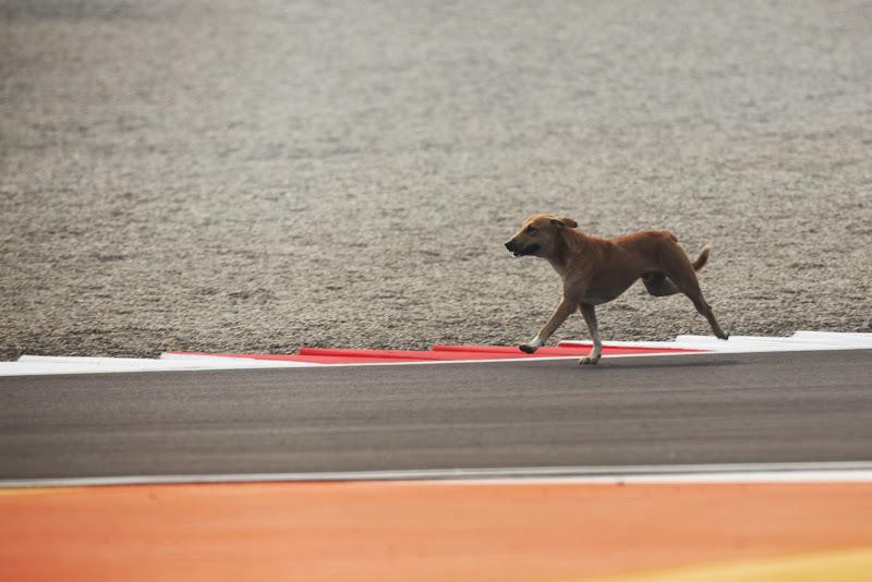 собака на трассе Буддх во время свободных заездов на Гран-при Индии 2011