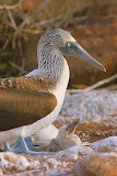 Blue-Footed Booby - Parent and Child