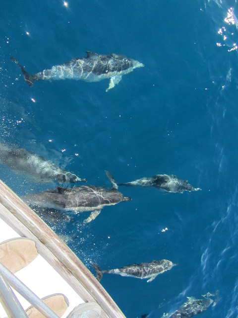 Bow-surfing dolphins on the way to White Island.