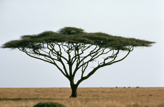 Umbrella_thorn_acacia_or_israeli_babool_tree_plant_acacia_tortillis.jpg