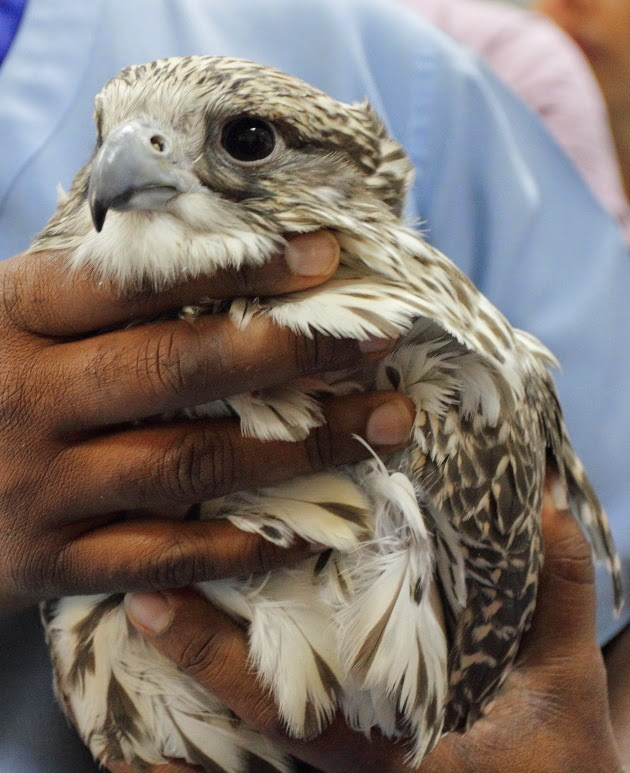 Falcon being treated at Abu Dhabi's Falcon Hospital