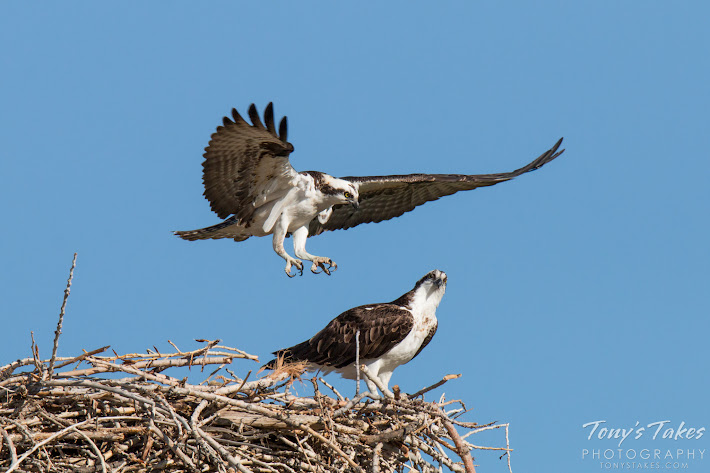Osprey prepare to mate in Longmont, Colorado.  (© Tony's Takes)