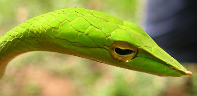 Amazing Snakes Seen On www.coolpicturegallery.us
