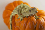Milkshake - Yellow-mocha harlequin male crested gecko from http://moonvalleyreptiles.com