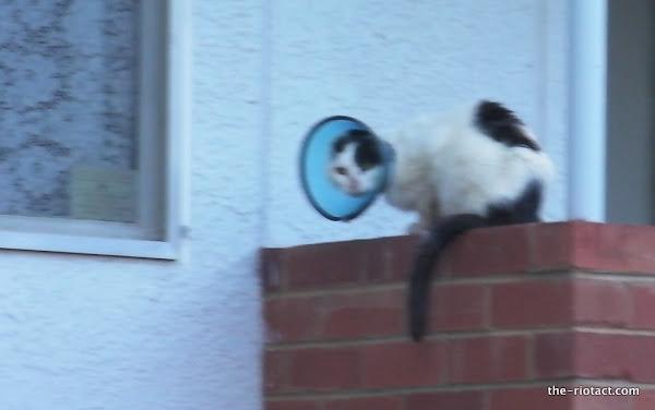 cat with mange collar