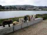 The dogs of San Francisco