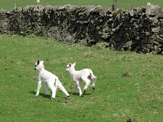 Lambs in play mode