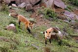 Red Foxes - Denali National Park, AK