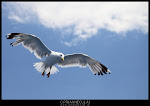 Seagull - Thasos - August 2012 - Photo by Ciprian Neculai / http://artandcolor.ro
