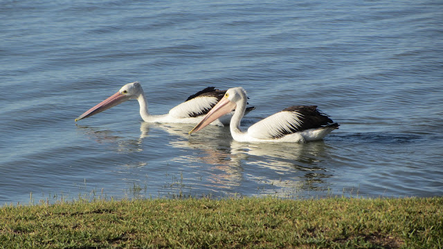 Pelicans in Lake Albert.
