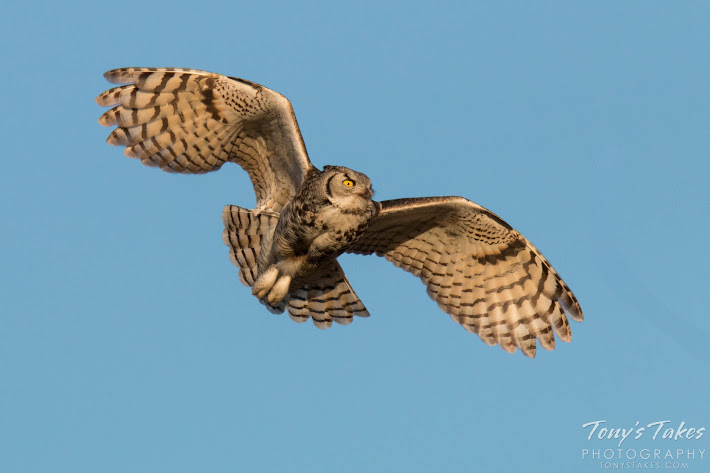 A Great Horned Owl returns to its nest in Commerce City, Colorado. (© Tony's Takes)
