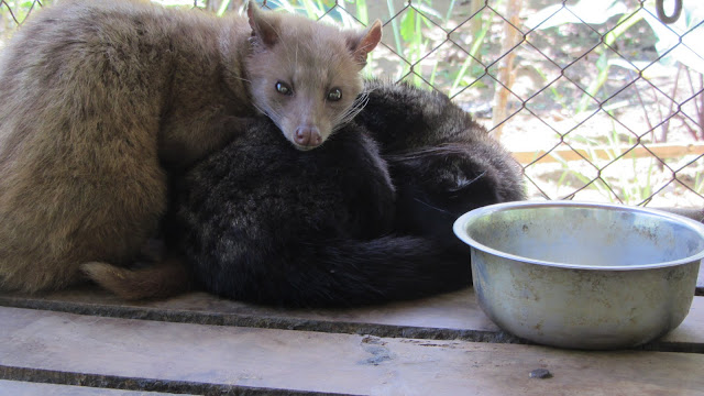 "Asian palm civet ""cats"" wired up on a never-ending diet of coffee beans."