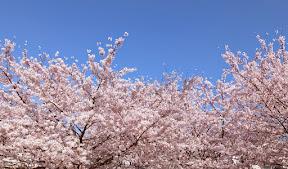 満開の桜(ソメイヨシノ)2015