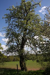 A Wild Pear Tree