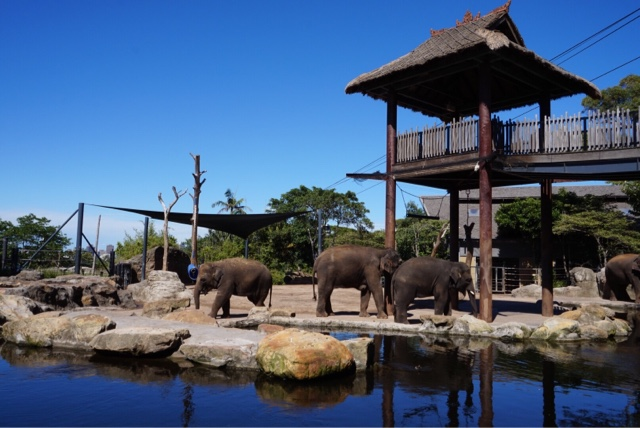 taronga zoo sydney australia elephants