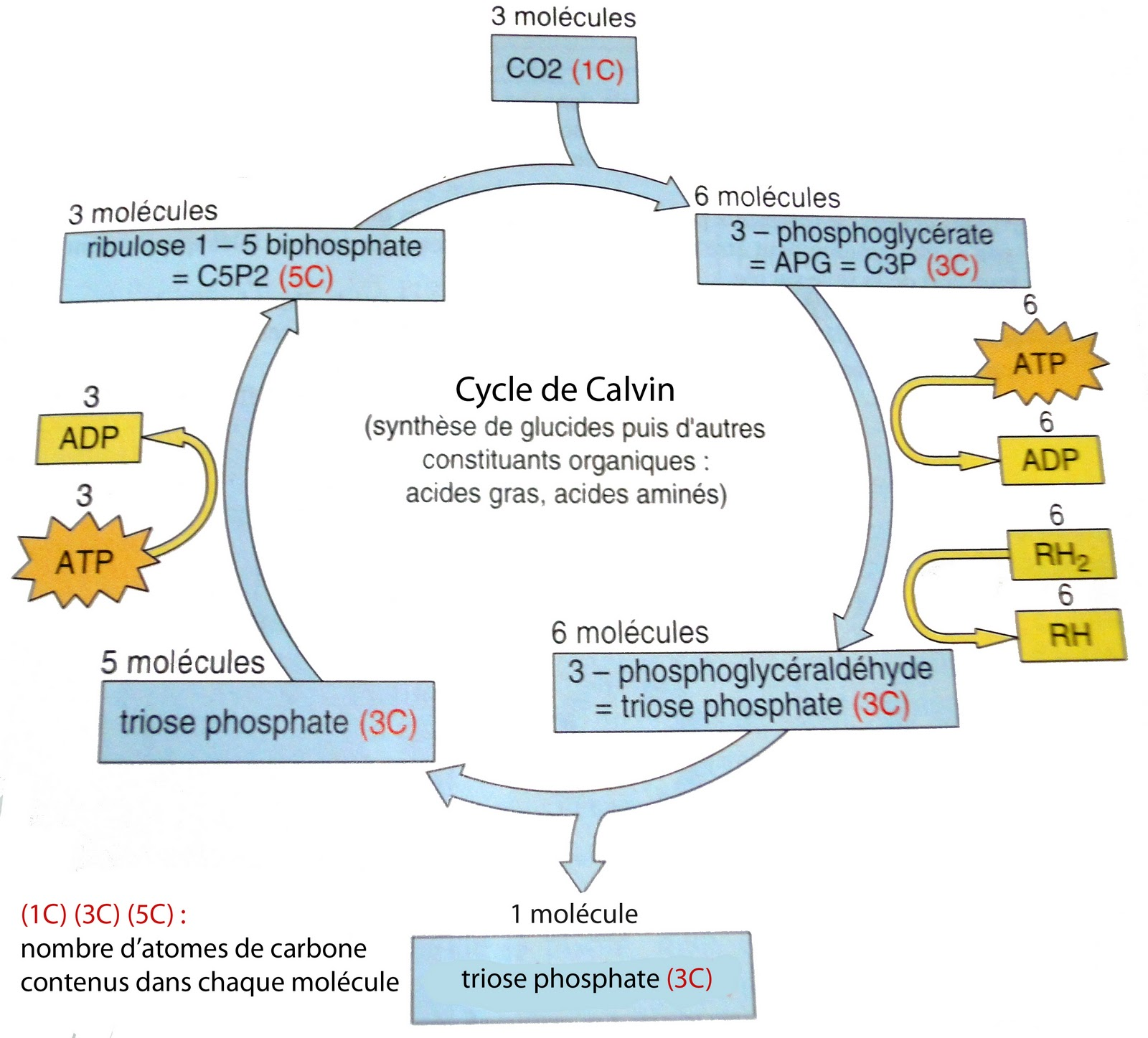 Calvin cycle photosynthesis animation Colorado Fishing Network: Gold Medal Waters of the South