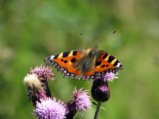 Tortoiseshell Butterfly on Thistle