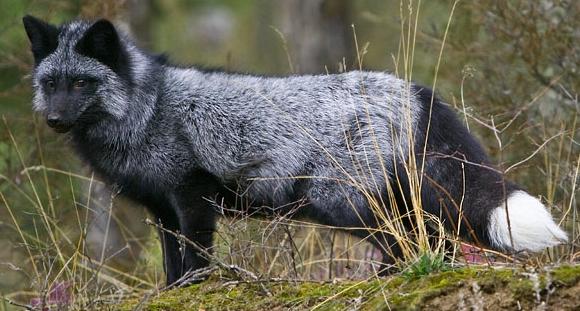 Divá forma sibírskej striebornej líšky
