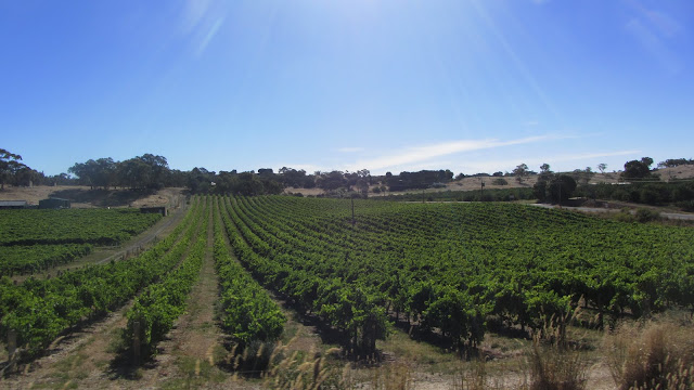Rows and rows of grape vines.