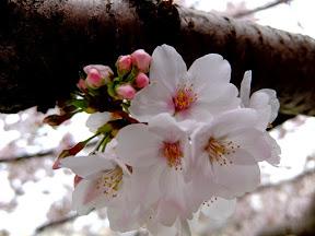 大島桜2015